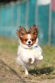 Dog Time Race 9 | Kunihiko N.    Looks so much like my dog! I love Papillons, they are in the top ten smartest dogs & have adorable non-yappy personalities.