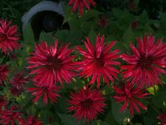 FLOWER POWER ! BEE BALM  attracts hummingbirds .