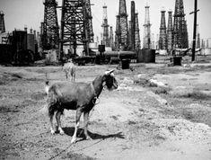 White sand, black gold: When oil derricks loomed over California beaches Orange County California, Long Beach California, California History, Old Photos, Vintage Photos, San Gabriel Valley, Retro Surf, San Luis Obispo County, History Photos