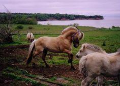 Nothing like a proud Fjordy stallion . . .