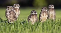 """Research published in the journal Nature by zoologist Douglas Levey and other authors found that burrowing owls collected animal dung and arranged it around their burrows. The owls sat and waited for dung beetles to approach the animal feces, and then snatched up easy meals.  Levey calls this """"fishing,"""" the equivalent of setting out a bait and waiting for the fish to bite. He has noted that the prevailing wisdom used to be that..."""