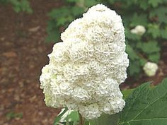 One of the few deer resistant hydrangeas, Oakleaf Hydrangea Harmony:10 to 12 high and wide common. late spring or early summer, 1 ft long panicles of white flowers appear, fade to pinkish and later to brown; the cultivars usually have showier flowers. The large leaves are deep green in summer, turning reddish-orange to purple in fall. Exfoliating bark gives the shrub some winter interest. Overall texture is coarse, both in summer and in winter.
