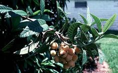 #4 Eriobotrya japonica