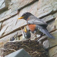 This adult robin is awaiting the other parent to return with food for all. The babies are getting a bit fussy.