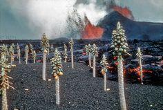 sadburro:  Alien landscape at home #1 Kilauea eruption with molten lava and papaya trees nearKapoho, Hawaii, 1960.