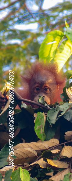 Orangutan and wildlife observation at Bukit Piton in Lahad Datu. This is a class forest reserve and is home to the Orang Utan and other Borneo wildlife Orangutan, Borneo, How To Memorize Things, Wildlife, Adventure, Holiday, Travel, Animals, Animales