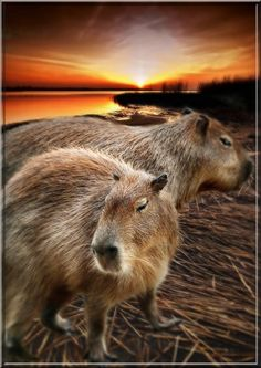 Lisa, was this what you were talking about?  Capybara....yep:) and the rescue place is Rocky Ridge