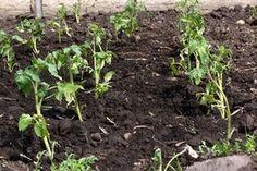 Первая подкормка томатов после высадки грунт