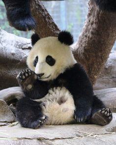 Hi there everyone Giant Panda - Xiao Liwu Little Panda, Panda Love, Cute Panda, Zoo Animals, Animals And Pets, Cute Animals, Wild Animals, Baby Panda Bears, Baby Pandas