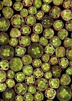 Fuchsia by horticultural art, via Flickr