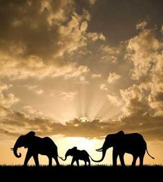 ELEPHANT  FAMILY  HOLDING TAILS  AS  THEY  WALK