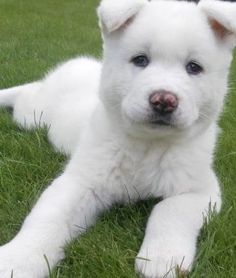 The akita inu puppies are Japanese breed made for hunting. Check out some information and pictures of the Akita Inu puppy. Akita Inu Puppy, Akita Puppies, Cute Puppies, Cute Dogs, Dogs And Puppies, Doggies, Local Dog Shelters, Baby Animals, Cute Animals