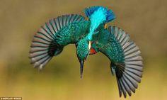 Photo of a Kingfisher Diving Taken by Alan McFadyen.