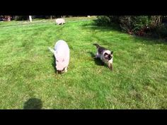 Smart Pig Takes Cat Sibling For a Walk (VIDEO) | One Green Planet
