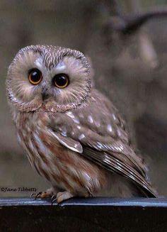 Sägekauz - Northern Saw-whet Owl  by Jane Tibbetty