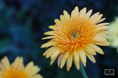 Yellow Flowers @ Chiang Mai, Thailand