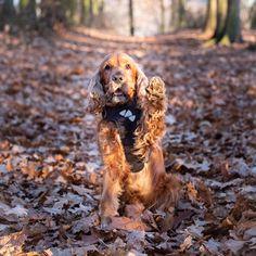 #dog #cocker #actijoy