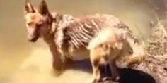 """In a video submitted to America's Funniest Home Videos, a water-loving German Shepherd is confronted with some heart-breaking news: It's time to get out of the water.   But the dog responds in a totally appropriate manner -- by howling """"Noooo!..."""