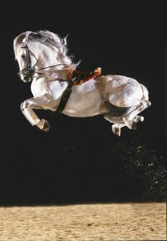 Lipizzaner Stallion - Airs Above the Ground   ...........click here to find out more     http://googydog.com