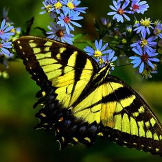 ~~ Giant Yellow Swallowtail Butterfly by John Absher~~