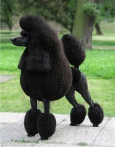 Standard Poodle -- black in the continental clip