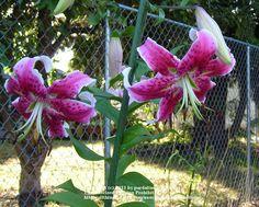 Oriental Lily 'Arabesque'