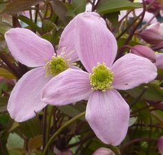 Clematis montana var. rubens This vigorous, deciduous variety produces sweetly scented pale pink satin blooms in May and June (Group 1). The flower has a light green and yellow heart. Bronzed young foliage matures to light green. It looks beautiful when used to cover substantial buildings or sturdy fences, telegraph poles, or even old tree trunks. - See more at: