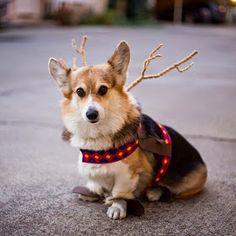 The Daily Corgi: More #Corgis in Costumes: Get Your Halloween On!