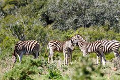 Zebras standing together kissing their foreheads Zebras standing together kissing their foreheads in the field.