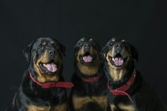 Three Musketeers Musketeers, Dog Days, Dogs, Animals, Animales, Animaux, Pet Dogs, Doggies, Animal