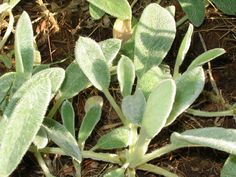 Wooly Lamb's Ear: How To Grow Your Own Antibacterial Bandages: As I work on turning this one acre homestead into a self-sustaining Garden of Eden, I have two requirements for every single plant I consider putting in the ground: they must be either edible or medicinal. Preferably both.