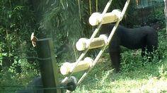 Bongi waits for L'Hoest's monkeys, Iringa comes to me (Gorillas)