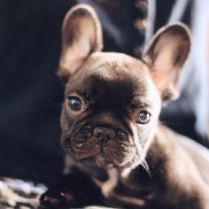 The major breeds of bulldogs are English bulldog, American bulldog, and French bulldog. The bulldog has a broad shoulder which matches with the head. Cute Puppies, Cute Dogs, Dogs And Puppies, Doggies, French Bulldog Puppies, French Bulldogs, Baby Animals, Cute Animals, Cute Creatures