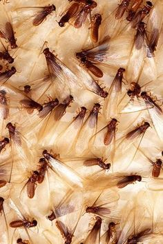 Formosan termites typically swarm from dusk until midnight, between April and June. - Scott Bauer/USDA Agricultural Research Service