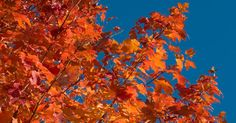 fiery red maple