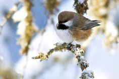 Boreal Chickadee by MAM Photography on Flickr.