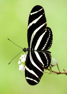 Zebra Longwing Butterfly Greeting Card for Sale by Debra Martz Butterfly House, Butterfly Frame, Most Beautiful Butterfly, Beautiful Birds, Butterfly Species, Outdoor Wall Art, A Bug's Life, Zebras, Pretty Pictures