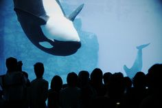 It's horrible to see her in captivity like this, stuck in a tiny space where wild orcas migrate up to eight miles a day while she's being stared at by humans for their entertainment.