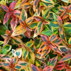 True to its name, Kaleidoscope Abelia PP16988 features a myriad of yellows, oranges and reds in fall. #varigated #shrub