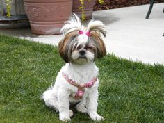 "Ali doesn't always look this good, says RMSer composthappens. She and Lucy, another Shih Tzu, are ""partners in grime."""