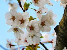 #角館 #桜 #サクラ
