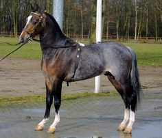 Approved stallions Hackney Star Dancer 2001  Convictions Boy-Exalted