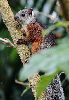 Variegated Squirrel (Sciurus variegatoides) - a tree squirrel endemic to Costa Rica, El Salvador, Guatemala, Honduras, southern Mexico, Nicaragua, and Panama. by AnyMotion