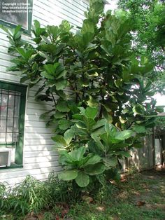 fiddle leaf fig - outdoors