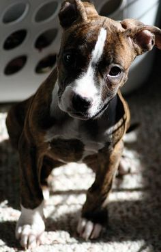 Sydney the American Pit Bull Terrier