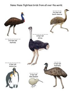 Name the Flightless birds of the world worksheet Animals Name With Picture, Bird Facts, Animal Activities, Preschool Activities, Flightless Bird, Bird Theme, Animals For Kids, Wild Animals, Nature Journal
