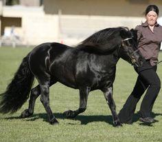 Show Horse Gallery - Shetland - Lynvale Lodge Milton