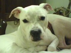 Andy URGENT FOSTER NEEDED IMMEDIATELY is an adoptable Pit Bull Terrier Dog in New York, NY. Hi everyone! I am 4y, 37 pound Andy's foster mom. And if it's ok, I will tell you about him. He is wonderful...
