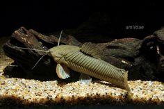 Calichthys Catfish - Callichthys callichthys