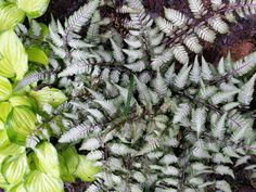 The color and texture of Japanese Painted ferns makes it one of my favorite in the shade garden. The fronds seem to glow in the shade and attract your eye down…